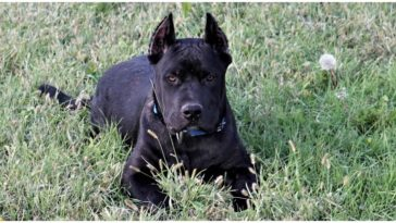 A Cane Corso Pitbull Mix relaxing in the dog park