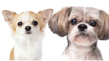 Shih Tzu Chihuahua Mix Dog will make for the most adorable combination