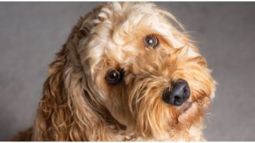 An adorable cocker spaniel poodle mix dog looking at the camera