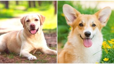 The Corgi Lab Mix is a crossbreed between the Corgi and Labrador dog