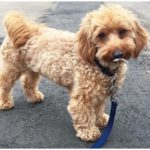 The most adorable Dachshund Poodle Mix having a walk with owner