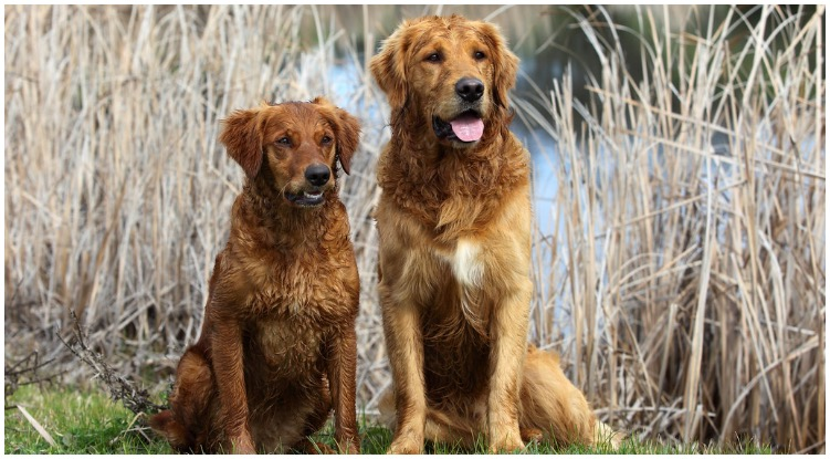 Two Golden Retrievers enjoying their time in nature