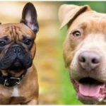 The French Bulldog Pitbull mix is a crossbreed between two dogs
