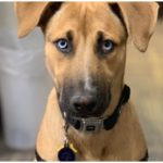 The Great Dane Husky Mix is a powerful but yet friendly dog breed