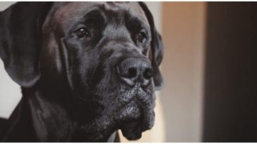 The Great Dane Mastiff Mix dog is truly a gentle giant