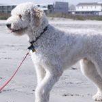 A beautiful great dane poodle mix walking on a leash