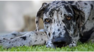 A beautiful merle great dane relaxing on the grass