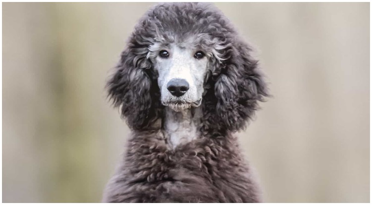 What is a Phantom Poodle and are they rare