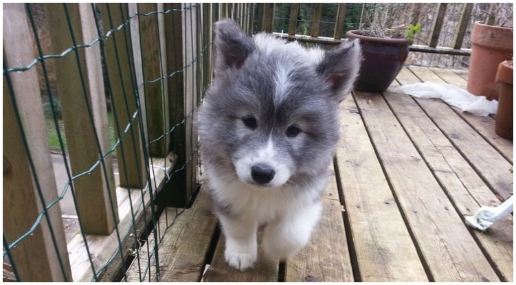 The most adorable samoyed husky mix puppy on the front porch
