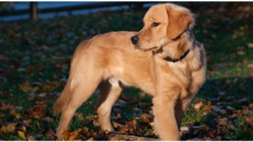 What are Short Hair Golden Retrievers and how do they happen