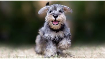 An absolutely adorable Teacup Miniature Schnauzer running around the park