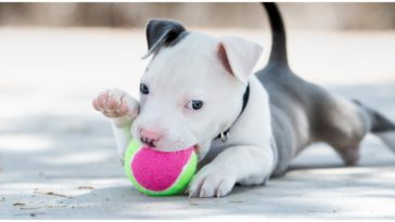 A teacup pitbull playing with a cute pink ball