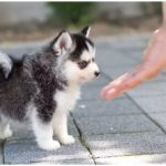 The most adorable teacup pomsky next to his owner