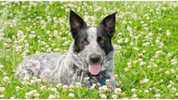 A texas heeler dog sitting in a field