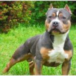 A Tri Color Pitbull is basically a Pitbull dog with three different colors on his coat