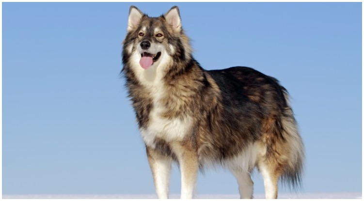 The Utonagan is a northern Inuit dog that loves the snow and cold