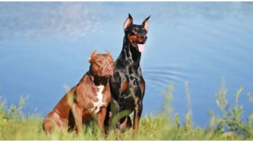 What to expect from a Doberman Pitbull mix dog