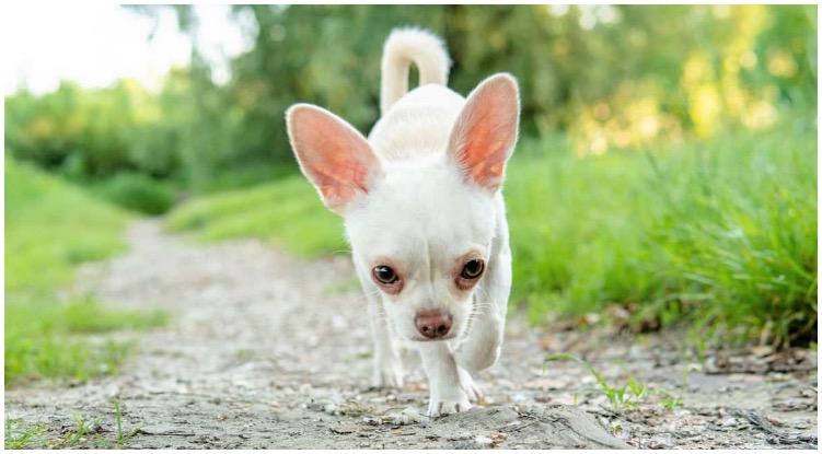 A white Chihuahua roaming around in nature