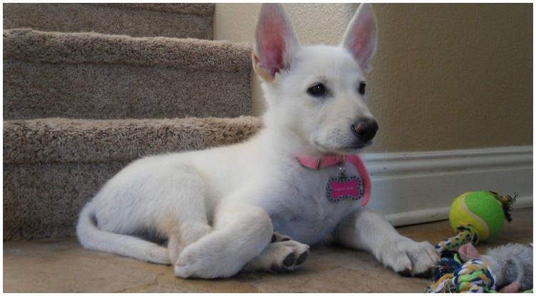 It's known that white German Shepherd puppies are incredibly adorable