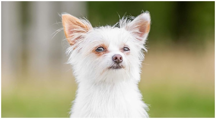 An adorable White Yorkie looking confused at the camera