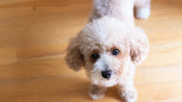 toy poodle full grown