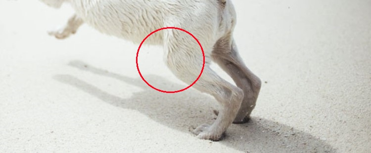 where is a dog's knee