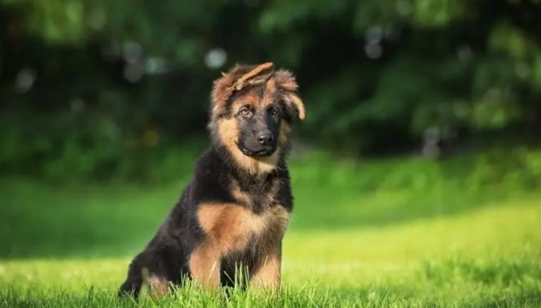 mini german shepherd