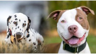 The Dalmatian Pitbull mix is a new and yet unexplored dog breed