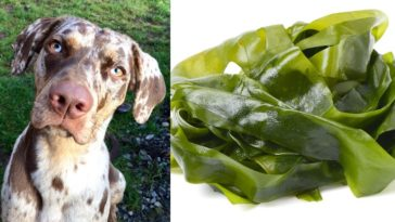 can dogs eat seaweed