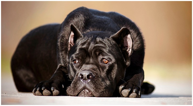 The All Black Cane Corso Taking A Relaxing Nap Outside