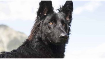 The All Black German Shepherd is a unique and stunning dog