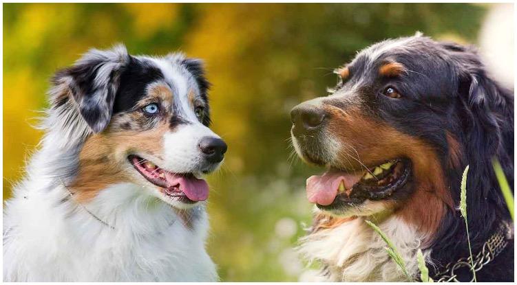 What makes the Australian Shepherd Bernese Mountain Dog so special