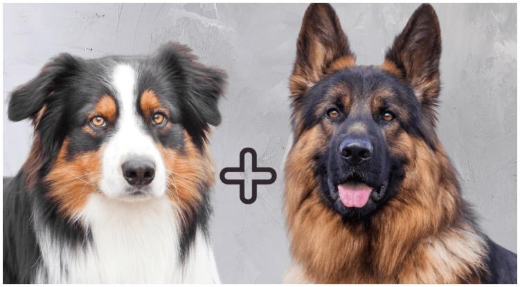 The German Shepherd Australian Shepherd Mix dog combines the two popular dog breeds