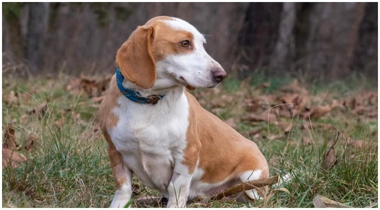 The beagle dachshund mix gad a short and parti colored coat