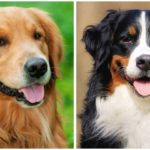 The Bernese Mountain Dog Golden Retriever Mix is a big and loyal dog breed