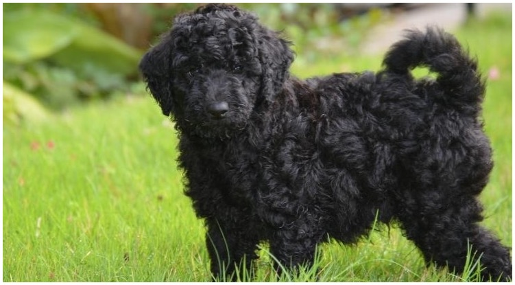 The black goldendoodle exploring his owner's backyard
