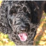 A black Labradoodle sitting in a pile of autumn leaves