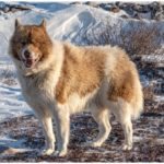 The Canadian Eskimo Dog Enjoying His Time In The Snow