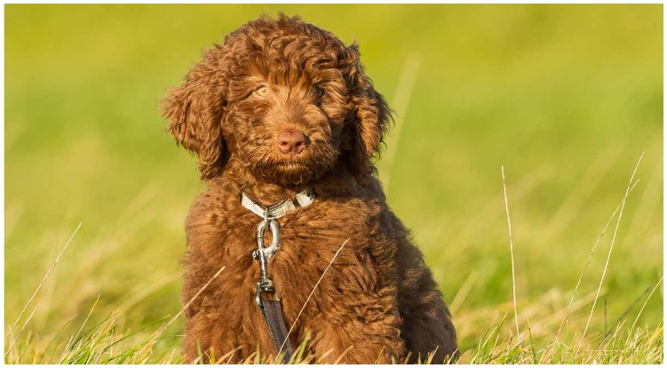 A Chocolate Labradoodle sitting on a field of grass