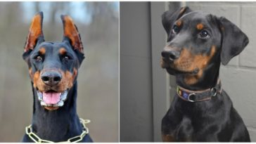 Doberman with cropped ears and another Doberman with uncropped ears that are floppy