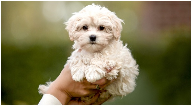 How big does a full grown Maltipoo get