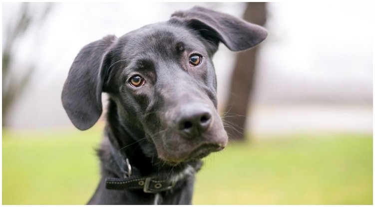 A Great Dane Lab Mix looking adorably at the camera