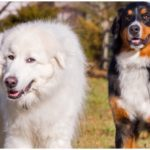 The Great Pyrenees Bernese Mountain Dog is a large and friendly family dog