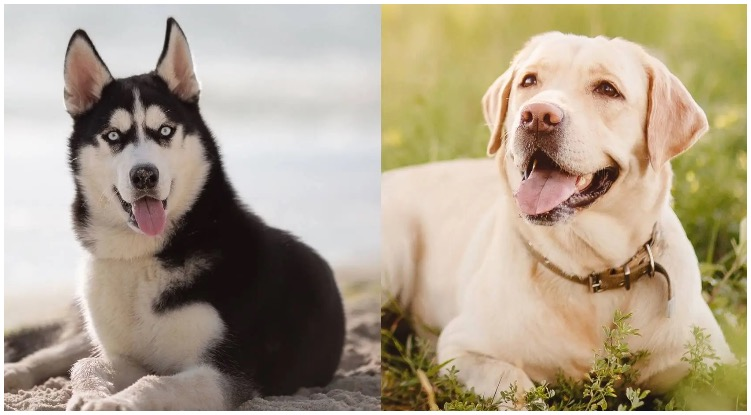 What is the Labrador Husky Mix and how do they act