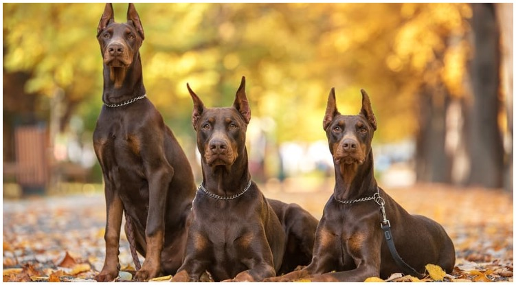 Red Doberman is a dog breed with a lot of good qualities