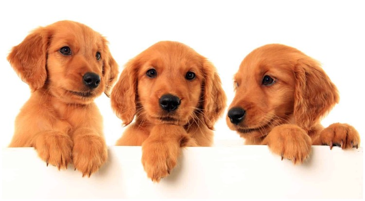 Three cute red Golden Retriever puppies looking at their surroundings