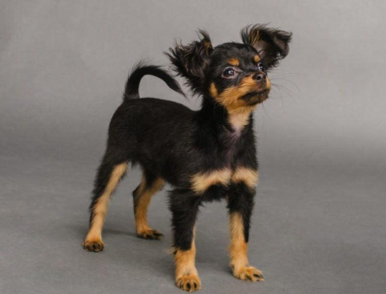 Russkiy Toy black and brown dogs