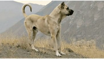 The Sarabi dog is one of the largest dog breeds out there