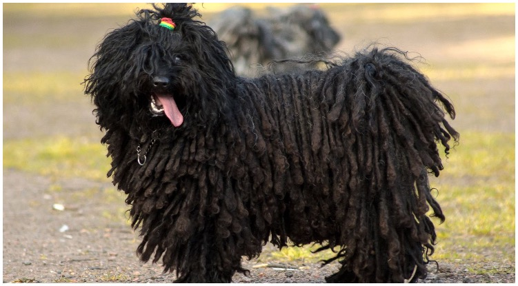 The puli dog bread known as the dog with dreads