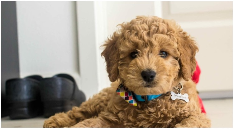 A toy goldendoodle laying on the floor